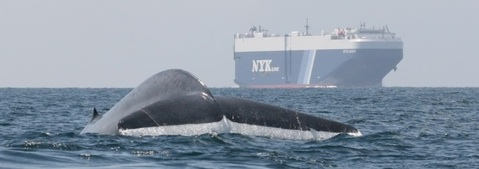 whale breaching in the foreground with a container ship in the background