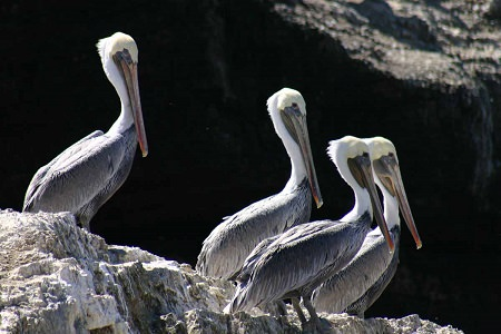 a group of pelicans is called a Squadron