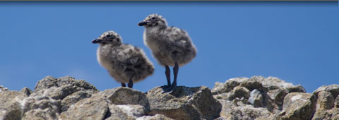 chicks standing on rocks
