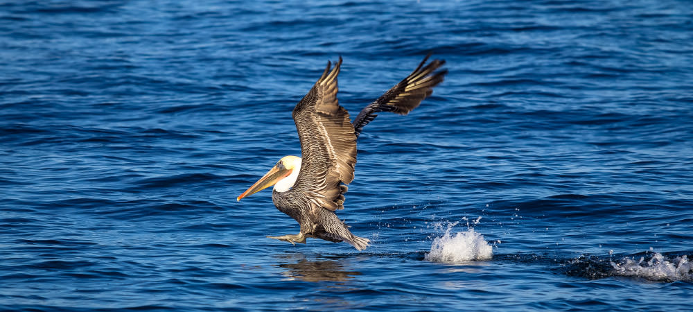 brown pelican landing on water