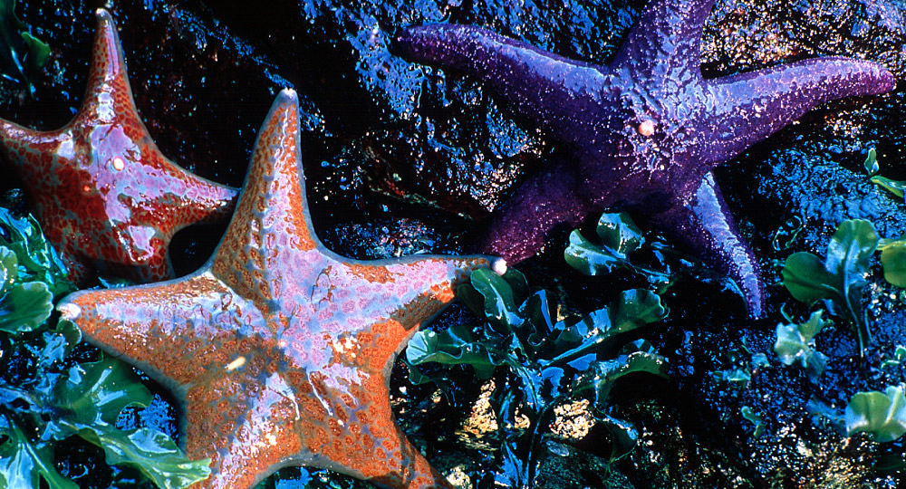 sea stars along the rocky coast