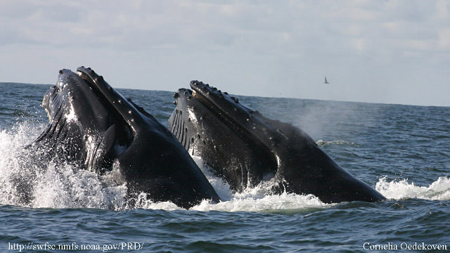 a pair of humpback whales feeding