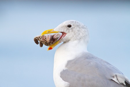 Western Gull with a sea star in its beak