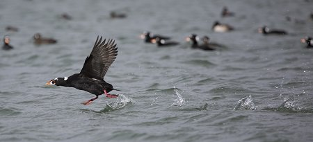 Surf Scoter smashing into the water