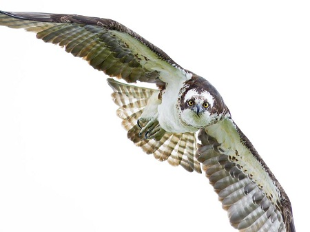 The Osprey  is a large and distinctive hawk with a predominantly white underside