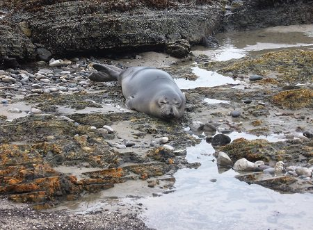 northern elephant seal resting on the beach