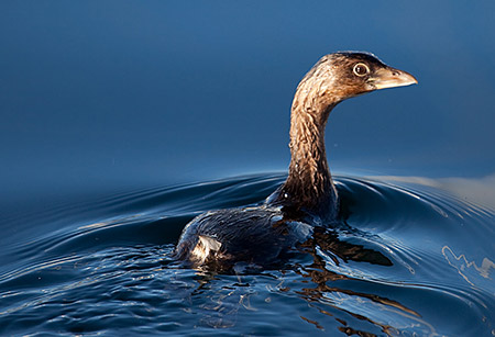 Pied-billed Grebe swimming
