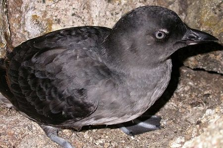a Cassin's Auklet resting on some rocks