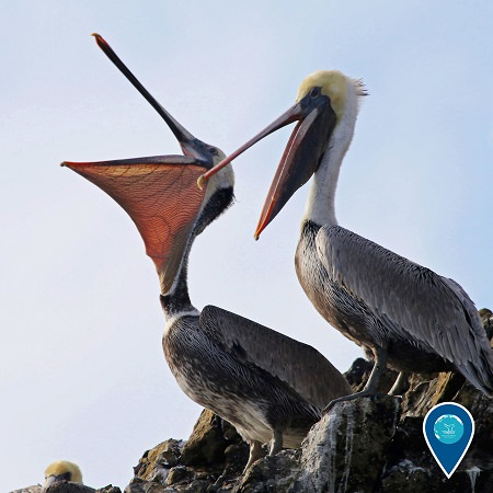 two pelicans sitting on rocks with there beaks open