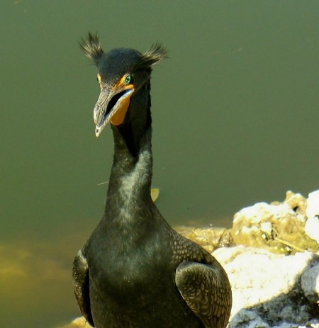 a Double Crested Cormorant