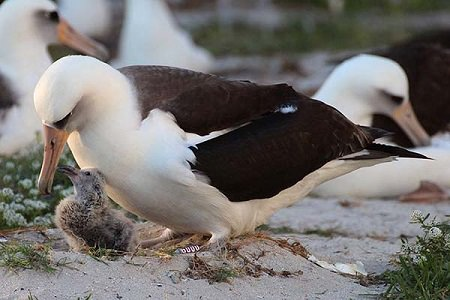 Wisdom a Laysan Albatross with her chick on the beach surrounded by other Laysan Albatross